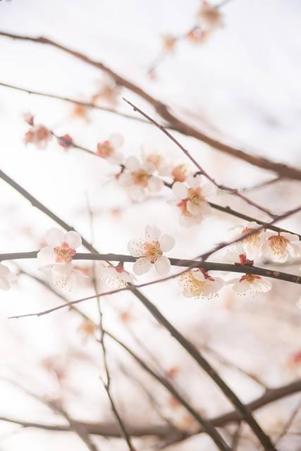 梅の花と春のフリー写真素材