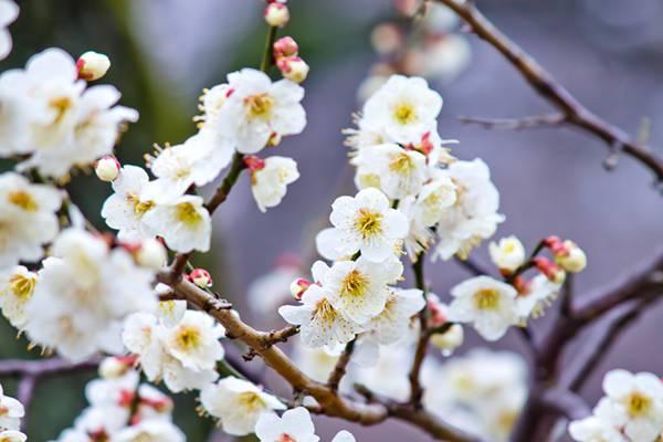 満開の梅の花を撮影したフリー写真素材