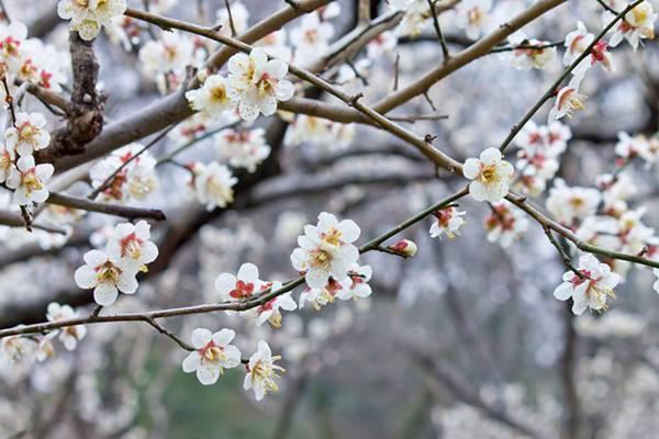 満開の梅の花の綺麗な写真素材