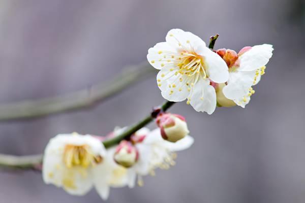 枝に花咲く梅の花の写真素材
