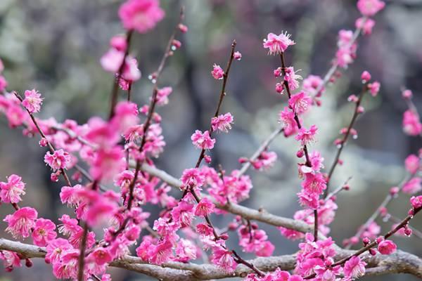 ピンクの梅の花(雨)