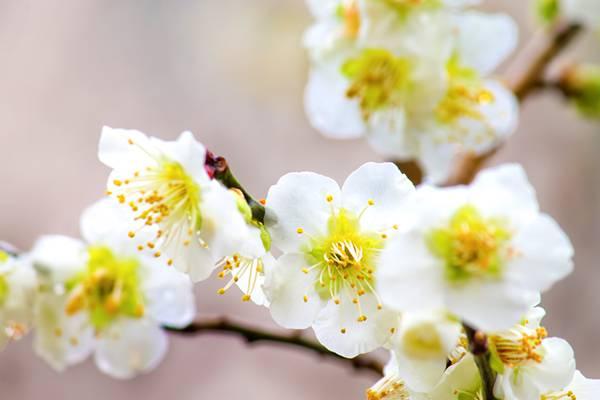白い梅の花のアップ