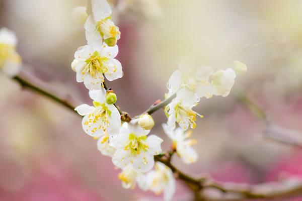 幻想的な雰囲気の梅の花