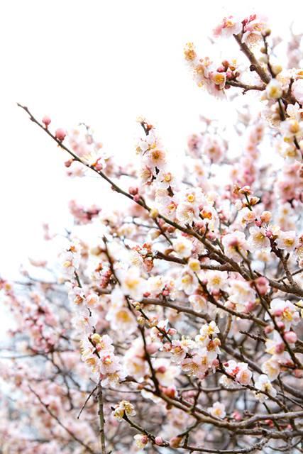 白い梅の花の美しいフリー写真素材