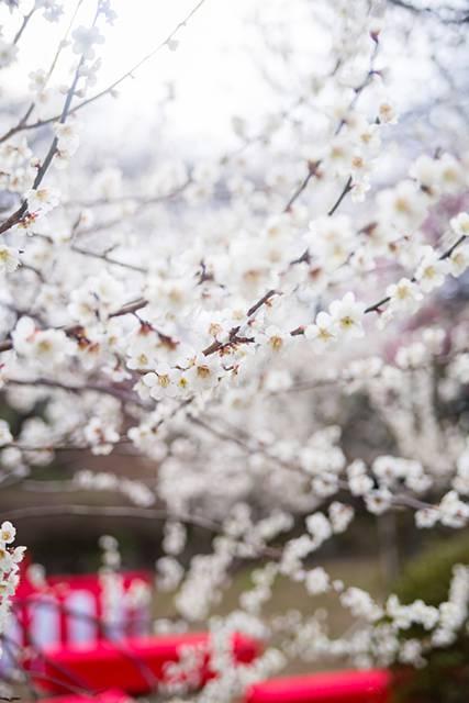 観梅会の赤い席と梅の花