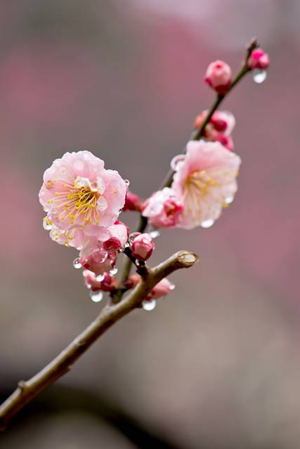 雨に濡れたピンクの梅の花
