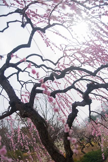 枝垂れ梅の綺麗な無料写真素材