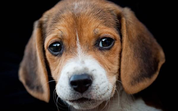 01.ちょっと切ない表情のビーグル犬をアップで撮影した写真壁紙