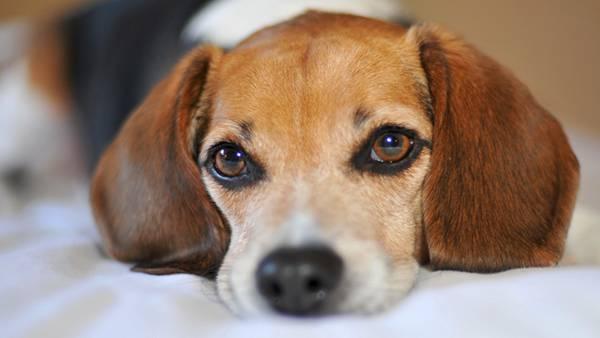 02.ベッドの上にアゴを乗せるビーグル犬の綺麗な写真壁紙画像