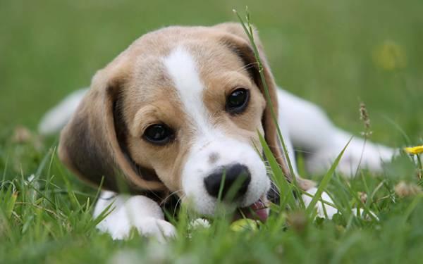 03.草の上に寝そべるビーグルの子犬の可愛い写真壁紙画像