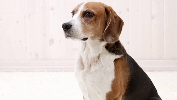 05.おすわりする賢そうなベーグル犬の綺麗な写真壁紙画像