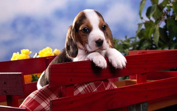 07.木の柵に前足を乗せるベーグルの子犬の可愛い写真壁紙画像