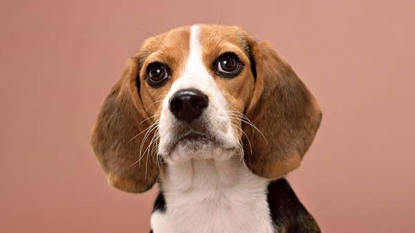 08.キリっとした表情のベーグル犬を撮影した綺麗な写真壁紙画像