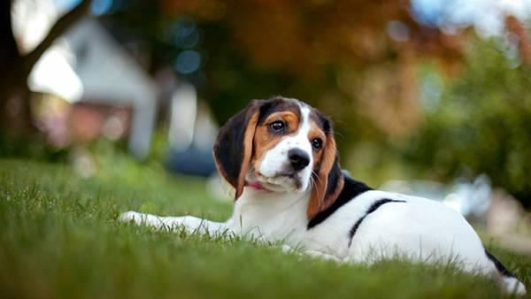 09.芝の上に伏せるベーグル犬を浅い被写界深度で撮影した写真壁紙