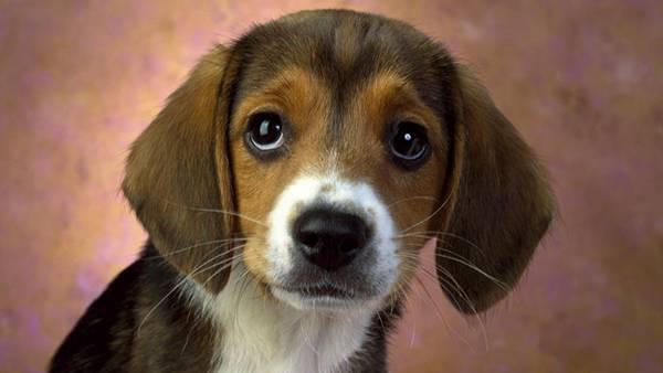 10.ちょっと上目遣いのベーグルの子犬の可愛い写真壁紙画像
