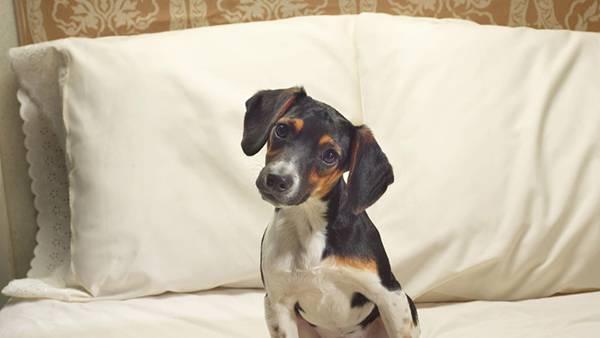 11.ベッドの上で首をかしげるベーグル犬の可愛い写真壁紙画像