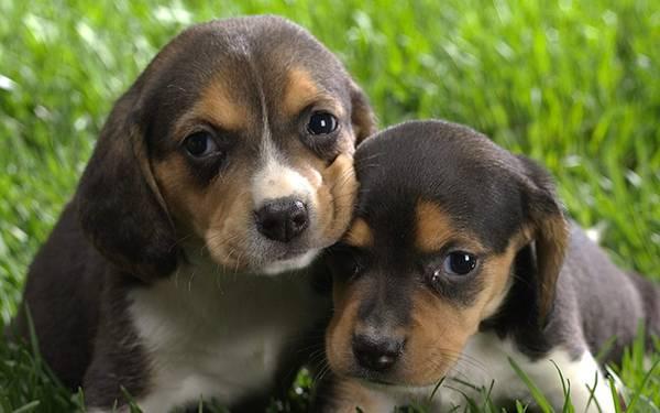12.顔を寄せ合う仲良しのベーグルの子犬の可愛い写真壁紙画像