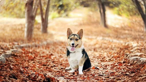 02.落ち葉の中で舌を出すコーギー犬を撮影した可愛い写真壁紙画像