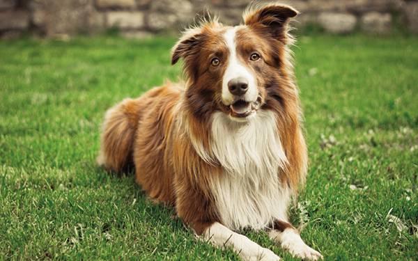 03.芝の上におすわりする綺麗な毛並みのコーギー犬の写真画像