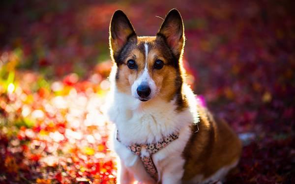 04.鮮やかな赤の落ち葉とコーギー犬の可愛い写真壁紙画像