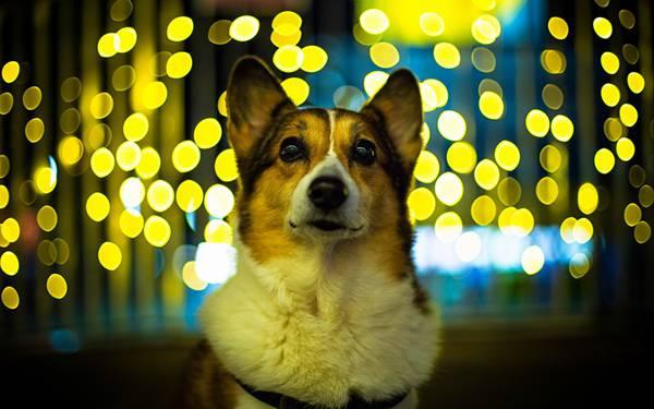 05.綺麗な黄色の玉ボケとコーギー犬の写真壁紙画像