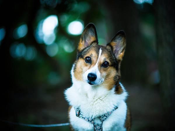06.少し首をかしげるコーギー犬の可愛い写真壁紙画像