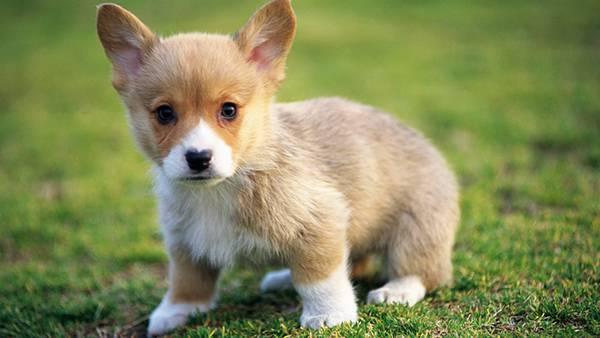 08.つぶらな瞳のコーギー犬の赤ちゃんを撮影した写真壁紙画像