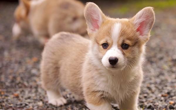 11.砂利道の上を歩くコーギー犬の赤ちゃんの可愛い写真壁紙画像