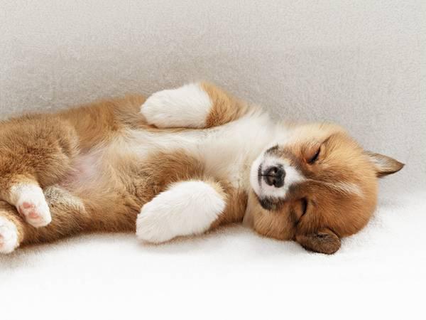 12.お腹を出して寝るコーギー犬の赤ちゃんの可愛い写真壁紙画像