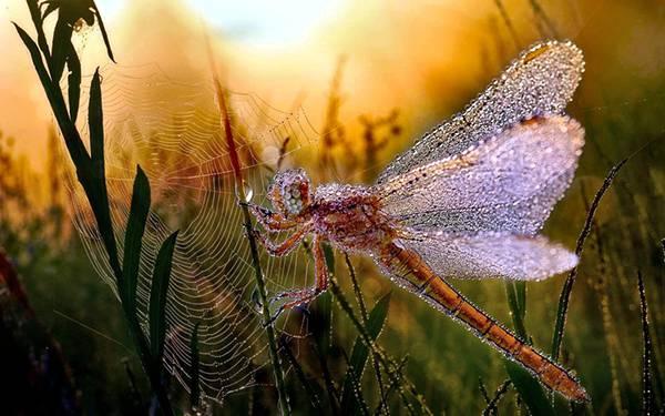 04.夕焼けの中の水滴のついたトンボと蜘蛛の巣の写真壁紙画像