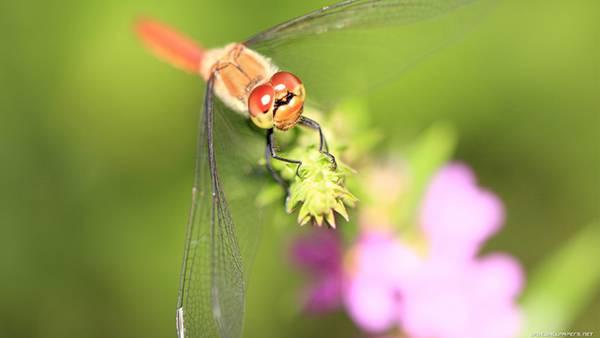 07.蜻蛉を正面からマクロ撮影した綺麗な写真壁紙画像