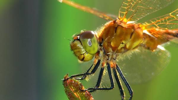 09.葉っぱの上の蜻蛉の横顔をアップで撮影した写真壁紙画像