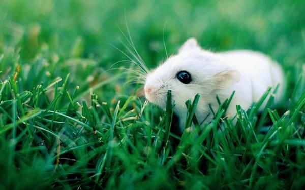 02.草の上のつぶらな瞳のハムスターを撮影した可愛い写真壁紙画像