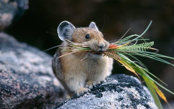10.口いっぱいに草をくわえたハムスターの可愛い写真壁紙画像