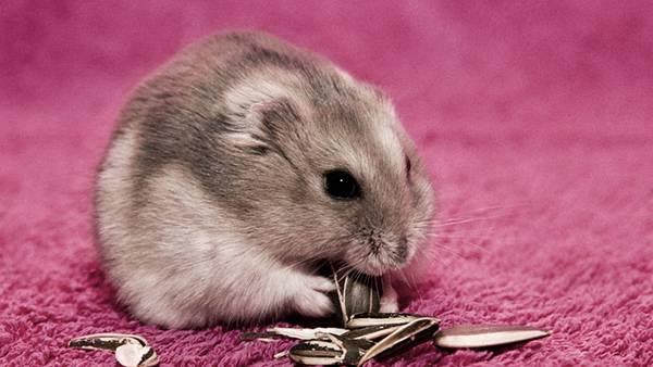 http://switch-box.net/wp-content/uploads/2014/03/wallpaper-hamsters-photo-12.jpg?5b4980