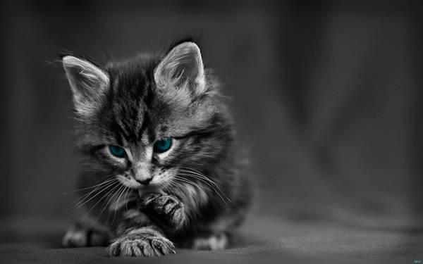 03.毛づくろいする青い目の子猫をパートカラーで撮影した可愛い写真壁紙画像