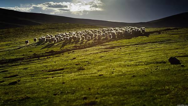 02.草原の中の羊の群れを撮影した美しい写真壁紙画像