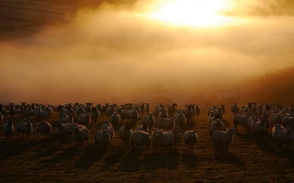 03.夕日の中のヒツジ達を撮影した綺麗な写真壁紙画像