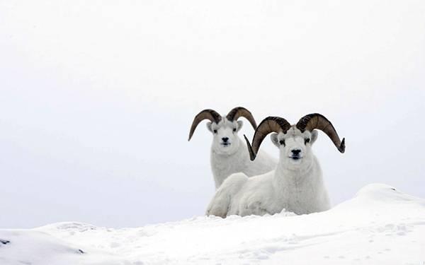 07.大きな角を持った雪羊を撮影した綺麗な写真壁紙画像