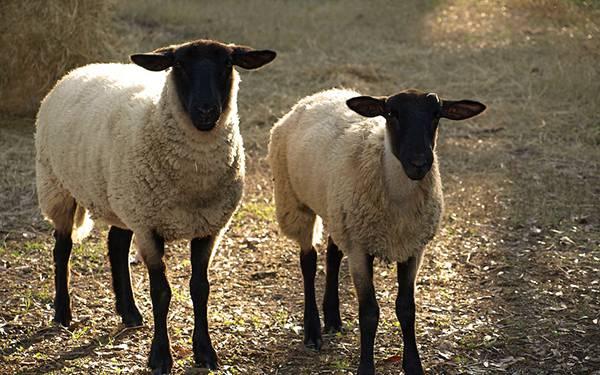 08.仲の良さそうな2匹の羊を撮影した写真壁紙画像