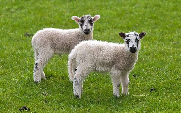 10.草の上の2匹の子羊を撮影した可愛い写真壁紙画像