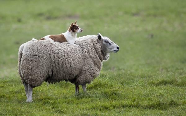 11.ヒツジの上に乗った牧羊犬の可愛い写真壁紙画像