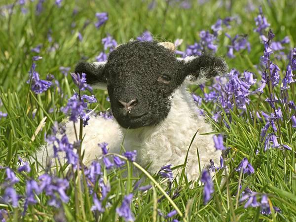12.ラベンダーの中に座った子羊を撮影した可愛い写真壁紙画像
