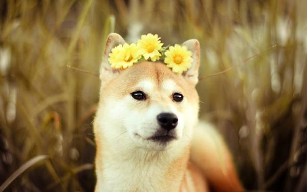 01.花の冠をつけた豆柴を撮影した可愛い写真壁紙画像