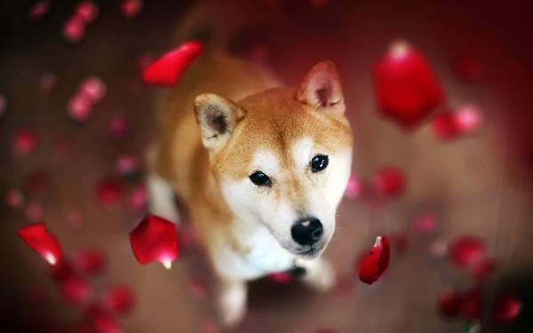 02.真っ赤な花びらと柴犬を撮影した綺麗な写真壁紙画像