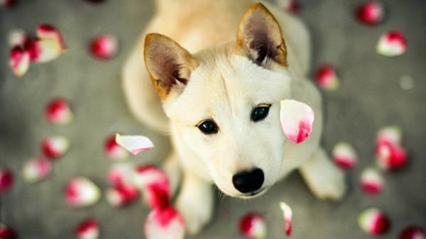 03.白い花びらとカメラ目線の柴犬を撮影した綺麗な写真壁紙画像