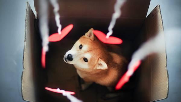 04.ダンボール箱に入った柴犬とハートの飾りの可愛い写真壁紙画像