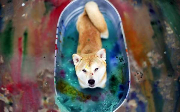 05.バケツの絵の具と柴犬を撮影したカラフルな写真壁紙画像