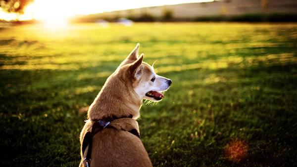 07.逆光の中の柴犬を撮影した綺麗な写真壁紙画像