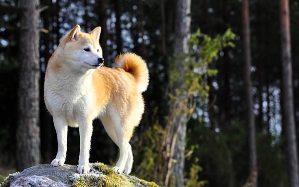 08.岩の上に登った凛々しい柴犬を撮影した写真壁紙画像